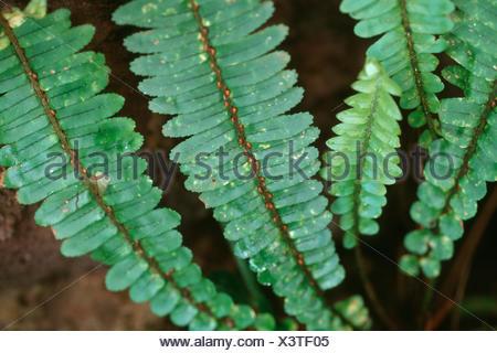 Narrow sword fern, Fishbone Fern, Southern Sword Fern. Ladder Fern (Nephrolepis cordifolia), leaves - Stock Photo