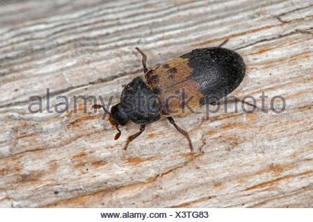 larder beetle, common larder beetle, bacon beetle (Dermestes lardarius), sitting on wood, Germany - Stock Photo