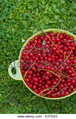 Pattensen, Germany, picked red currants in a Colander - Stock Photo
