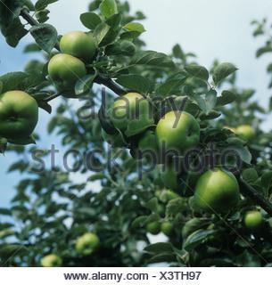 Mature Bramley Seedling apple fruit on the tree, Norfolk - Stock Photo