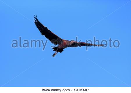 Glossy Ibis (Plegadis falcinellus), in flight, Sanibel Island, Florida, USA - Stock Photo