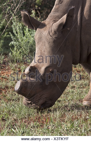 White Rhino showing horns removed, an anti poaching aid - Stock Photo