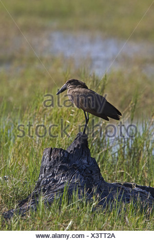 The Hamerkop Scopus umbretta also known as Hammerkop,Hammerkopf Hammerhead Hammerhead Stork Umbrette Umber Bird Tufted Umber - Stock Photo