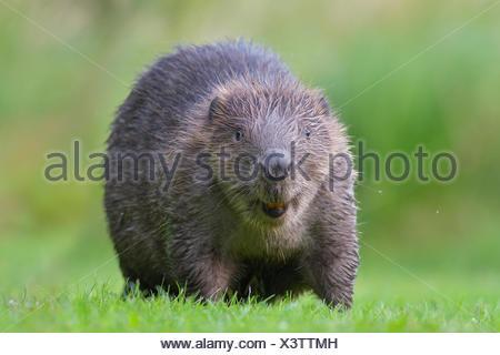 European beaver (Castor fiber) in a meadow, animal portrait, Tyrol, Austria - Stock Photo