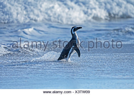 Magellanic Penguin (Spheniscus magellanicus) coming out of water, Sea Lion Island, South Atlantic, Falkland Islands - Stock Photo