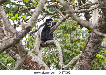 Mantled Guereza, Eastern Black-and-white Colobus or Abyssinian Black-and-white Colobus (Colobus guereza), rainforest - Stock Photo