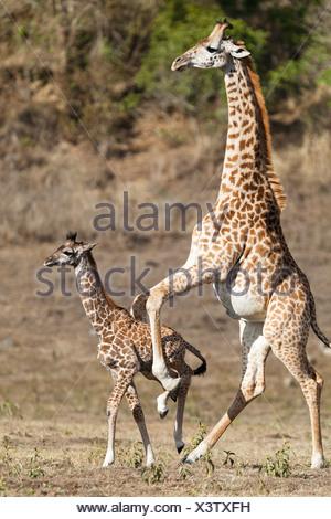 Massai, Maasai, Masai Giraffe or Kilimanjaro Giraffe (Giraffa camelopardalis tippelskirchi), pushing young, Arusha National Park - Stock Photo