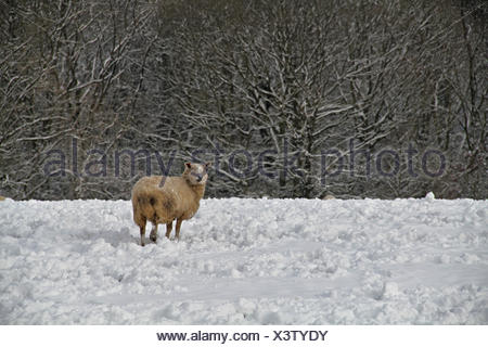 Sheep Grazing On Snow Covered Field - Stock Photo
