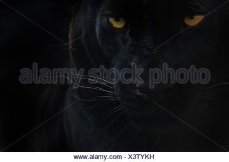 Close up head portrait of melanistic / black Leopard (Panthera pardus) captive