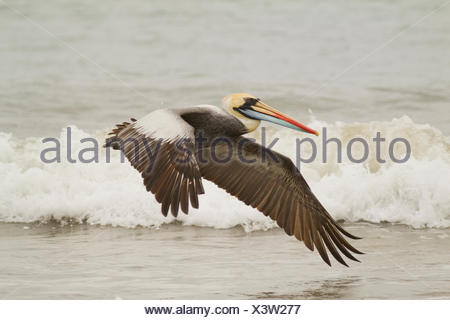 Peruvian Pelican, Pelecanus thagusm, Isla del Plato, Ecuador - Stock Photo