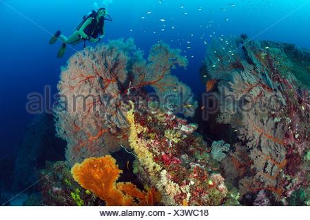 Scuba diver and Giant Sea Fans, Melithaea sp., Similan Islands, Thailand - Stock Photo