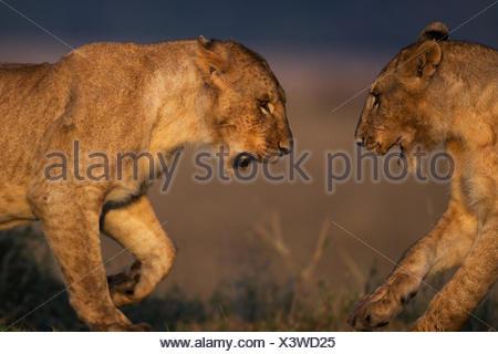 Lion (Panthera leo) juveniles playing. Maasai Mara National Reserve, Kenya. - Stock Photo