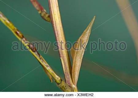 Aurorafalter, Aurora-Falter (Anthocharis cardamines), Guertelpuppe, gut getarnt in einem Fruchtstand der Knoblauchsrauke, Deutsc - Stock Photo