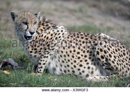 A shot of a wild cheetah in captivity. - Stock Photo