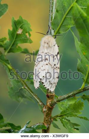 Gipsy moth (Lymantria dispar), female on an oak, Germany - Stock Photo