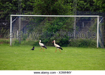 white stork (Ciconia ciconia), two white storks and one carrion crow walking on the lawn of a football field in front of a goal, Germany - Stock Photo