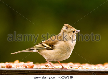 A female chaffinch on a bird table - Stock Photo