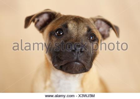 Staffordshire Bull Terrier Portrait - Stock Photo