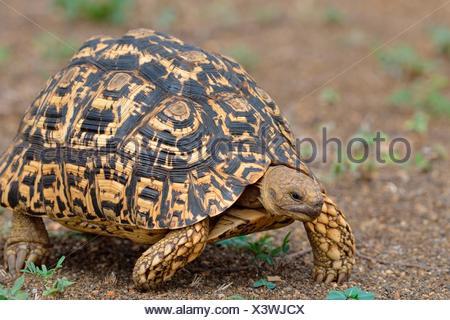 Leopard tortoise (Stigmochelys pardalis), moving, Kruger National Park, South Africa - Stock Photo