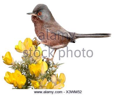 Dartford Warbler - Sylvia undata - Stock Photo
