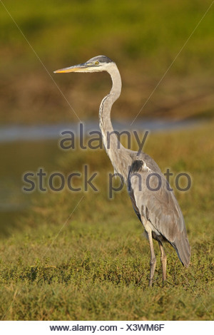 Great Blue Heron (Ardea herodias) feeding in a mudflat on the coast of Ecuador. - Stock Photo