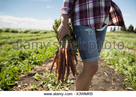 Female farmer harvesting carrots in crop on sunny farm - Stock Photo