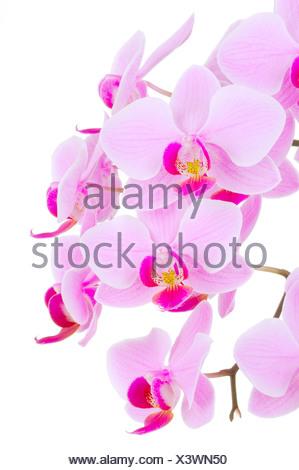 Orchids (Phalaenopsis sp.) - Stock Photo