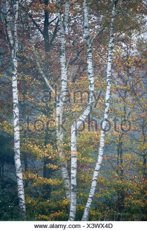 Birch trees (Betula pendula) and Beech trees (Fagus sylvatica) in autumn, Emsland, Lower Saxony, Germany - Stock Photo