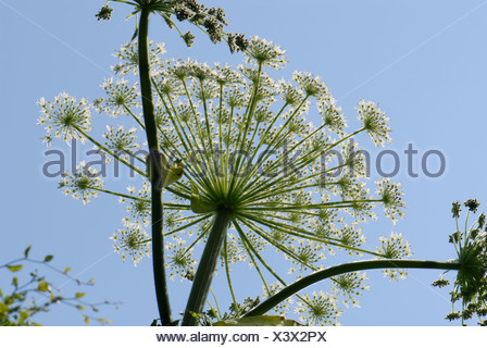 Giant hogweed Heracleum mantegazzianum flowering umbel against blue sky - Stock Photo