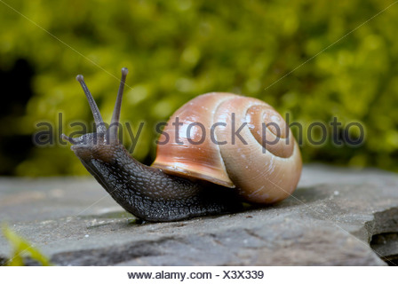 brown-lipped snail, grove snail, grovesnail, English garden snail, larger banded snail, banded wood snail (Cepaea nemoralis), creeping on a stone, Germany - Stock Photo