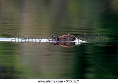 Capybara (Hydrochoerus hydrochaeris), adult, in the water, swimming, Pantanal, Mato Grosso, Brazil - Stock Photo