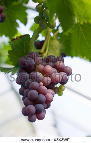 Grapes on vine, close-up - Stock Photo
