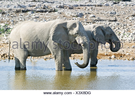 Elephants (Loxodonta africana) at the waterhole Okaukuejo in Etosha National Park, Namibia, Africa - Stock Photo