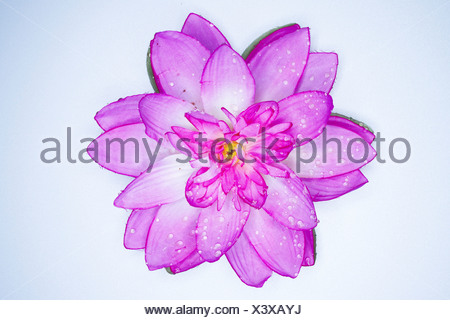 Lotus flower made of synthetic fiber seen from above - Stock Photo