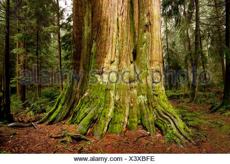 The trunk of western red cedar, Thuja plicata, at Stanley Park. - Stock Photo