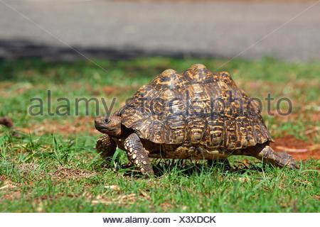 Leopard tortoise (Stigmochelys pardalis, Geochelone pardalis), walking, South Africa, Kgaswane Mountain Reserve - Stock Photo