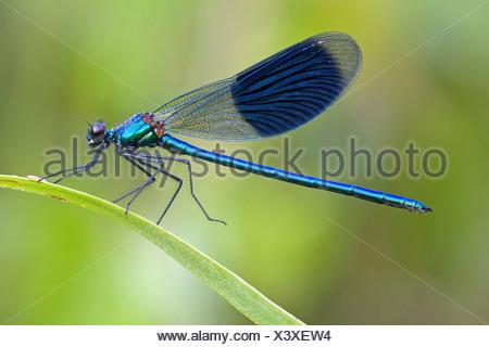 Male Banded Demoiselle (Calopteryx splendens) on a bulrush - Stock Photo