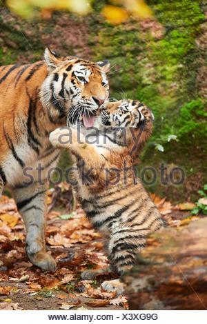 Siberian tiger, Amurian tiger (Panthera tigris altaica), tiger cub playing with its mother - Stock Photo