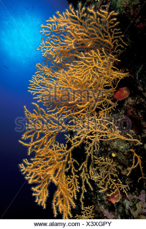 Yellow Gorgonian Eunicella cavolini Vis Island Dalmatia Adriatic Sea Croatia - Stock Photo