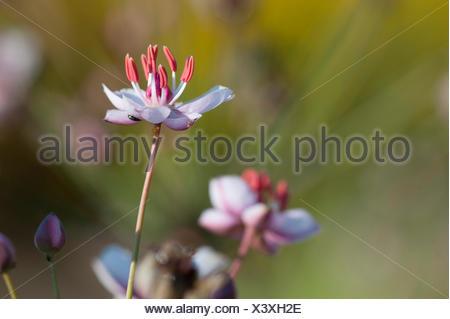 Schwanenblume, Schwanen-Blume, Wasserliesch, Blumenbinse, Doldige Schwanenblume, Wasserviole (Butomus umbellatus), Bluete, Deuts - Stock Photo