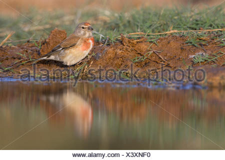 Common Linnet Carduelis cannabina adult male coming to drink Belchite Spain - Stock Photo