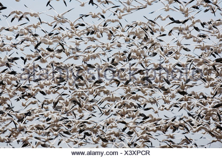 Snow Goose Chen caerulescens flock lifting off Bosque del Apache National Wildlife Refuge New Mexico USA  - Stock Photo