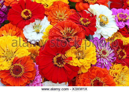 colorful summer bouquet with zinnias - Stock Photo