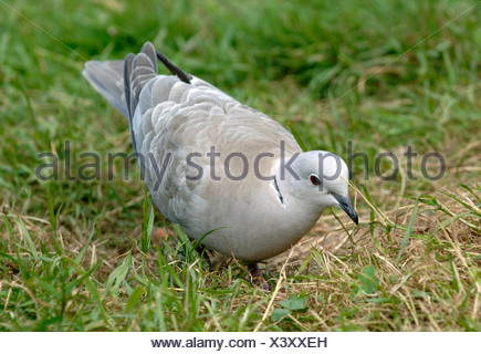 Collared dove scratching around for feed on grass Devon - Stock Photo