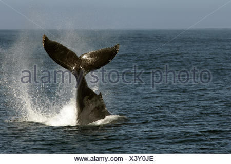 This humpback whale photographed in California (Monterey Bay) was slapping its tail on water They do this to get rid parasites - Stock Photo