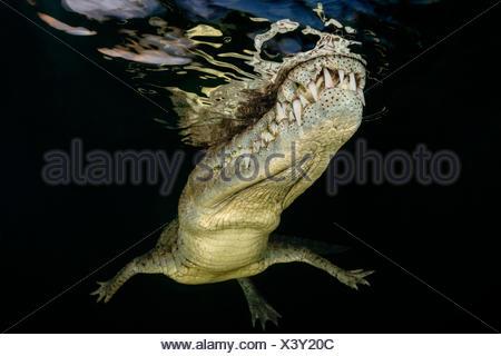 American Crocodile, Crocodylus acutus, Jardines de la Reina, Cuba - Stock Photo