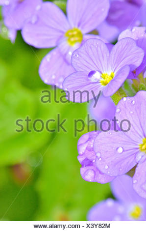 Lilac pansy flowers with green background. - Stock Photo