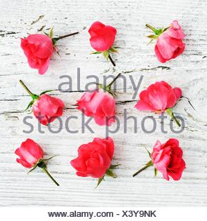 Pink Rose buds - Stock Photo