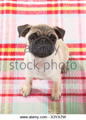 pug dog - puppy - sitting - Stock Photo