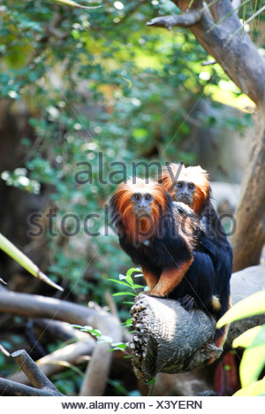 Golden Headed Lion Tamarin (Leontopithecus chrysomelas) - Stock Photo